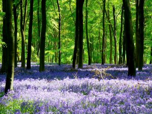 A bluebell forest