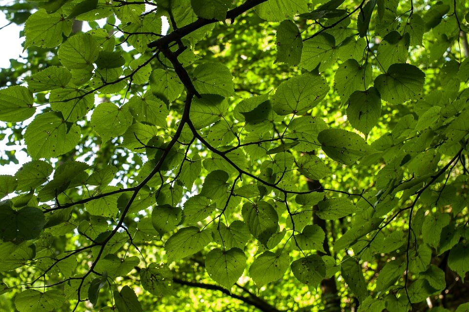 Forest canopy cover