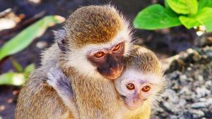 Two vervet monkeys cuddling