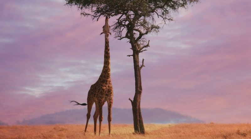 A Kenyan giraffe eating from a lone tree