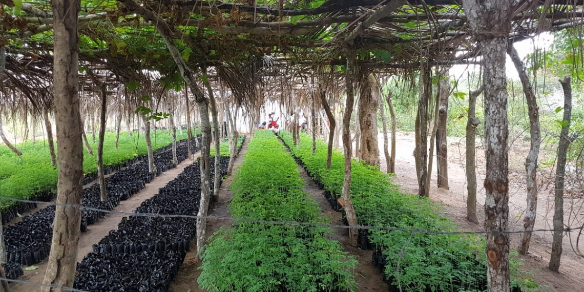 110,000 new saplings at the Boré main nursery