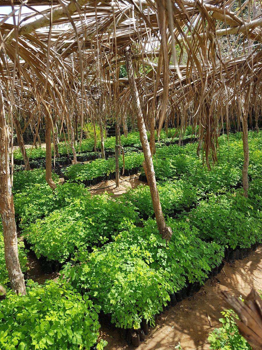 Moringa saplings