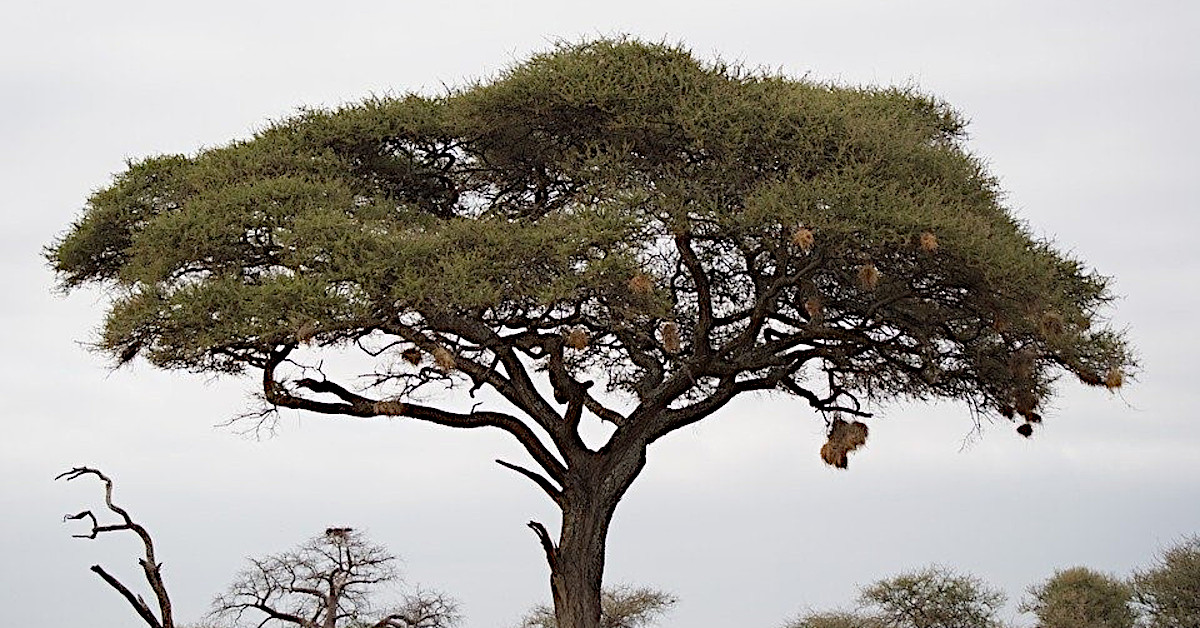 An acacia tree, favourable to be logged for charcoal. Source: Pixabay.