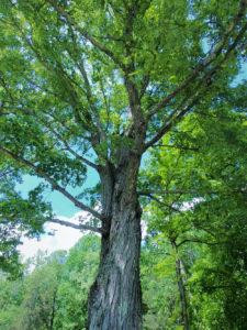 A majestic tree