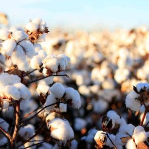 Organic cotton plants