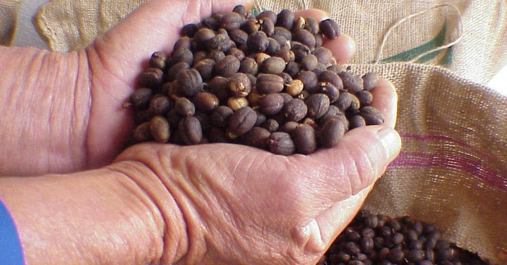 Coffee beans ready for roasting