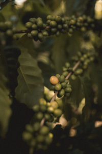 Coffee beans growing
