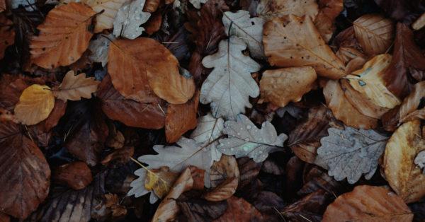 Deciduous tree leaves