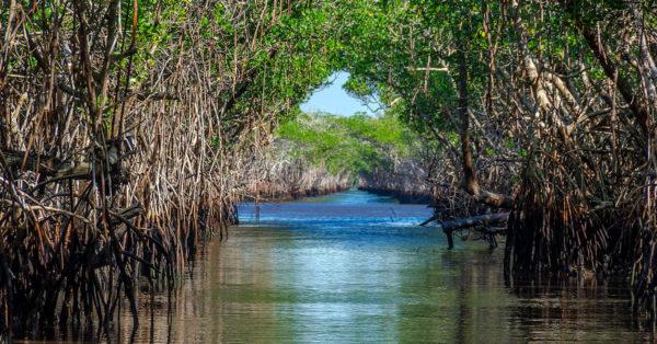 A mangrove forest