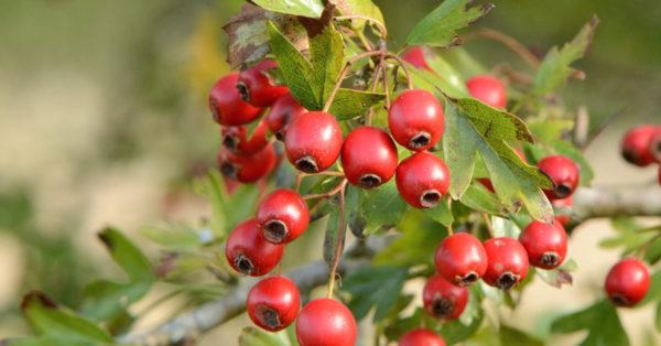 Great British Trees - The Hawthorn