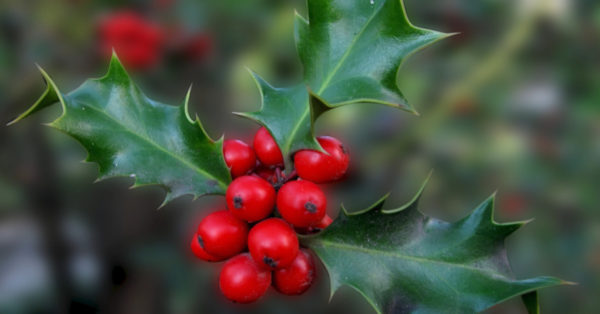 Great British Trees - The Holly
