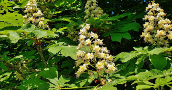 Great British Trees - The Horse Chestnut