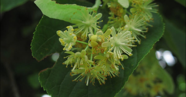 Great British Trees - The Lime