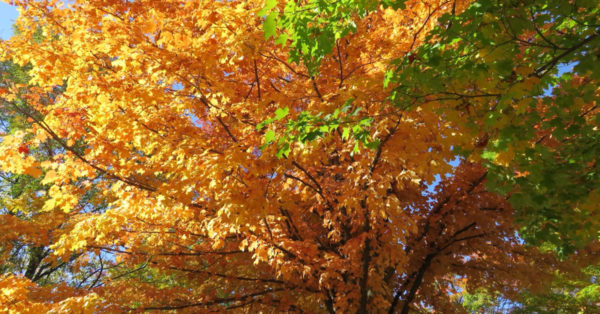 Great British Trees - The Maple