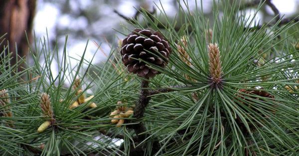 Great British Trees - The Pine