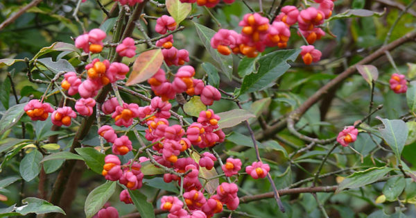 Great British Trees - The Spindle