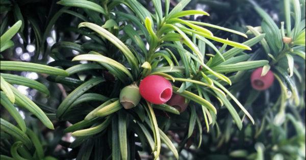 Great British Trees - The Yew