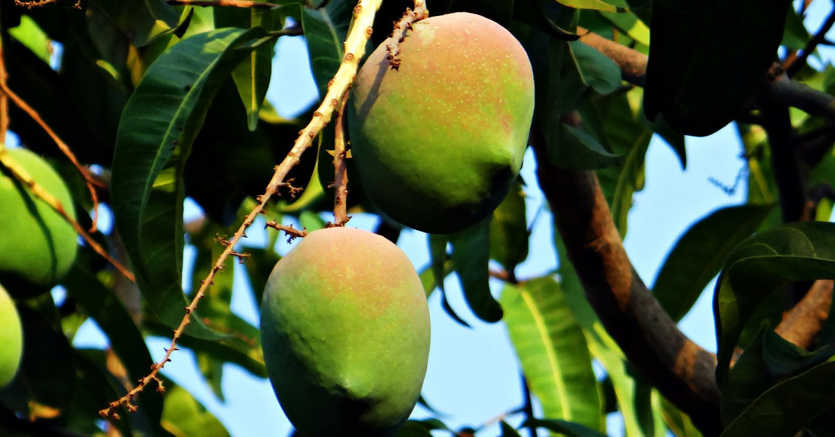 Ripe mangoes growing on a tree