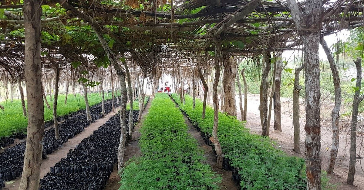 Thouands of saplings growing in the Boré Nursery