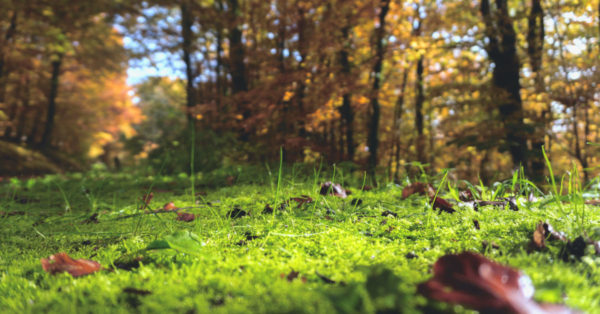 Green moss in a yellow Autumn forest
