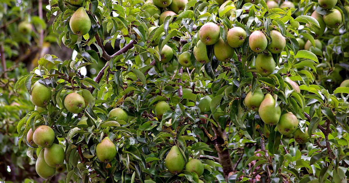 Pear tree heavy with fruit
