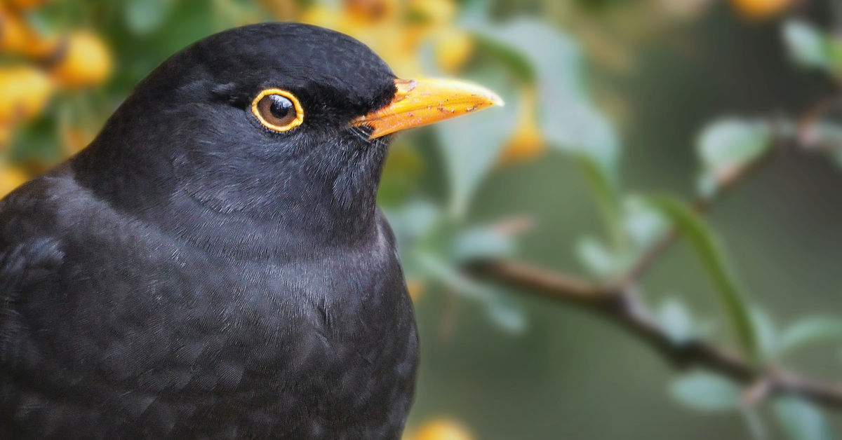 Blackbird on tree branch by Lukasz Rawa on Unsplash