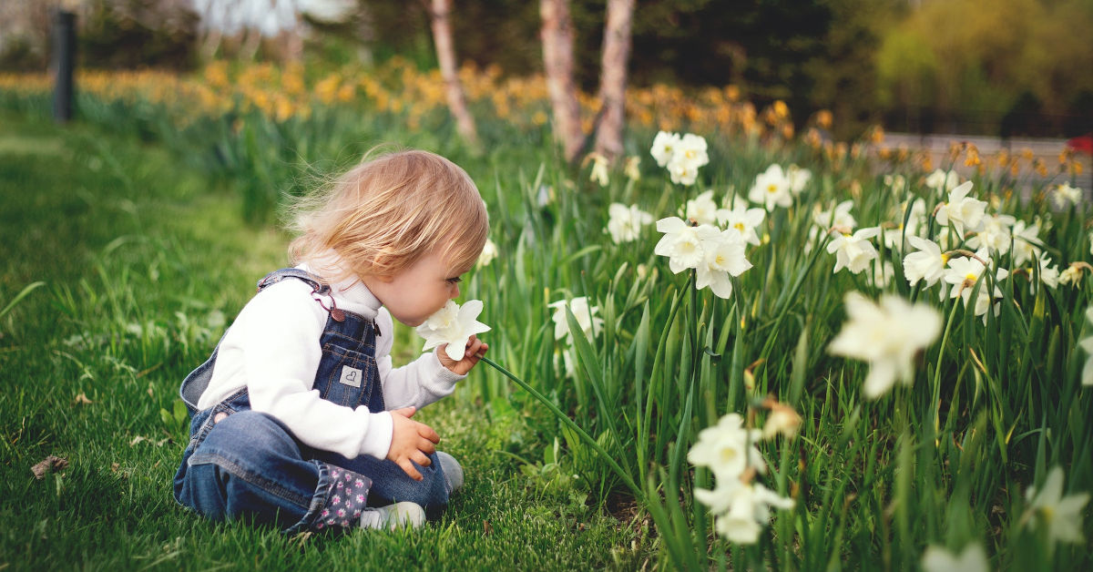 Small child smelling daffodils