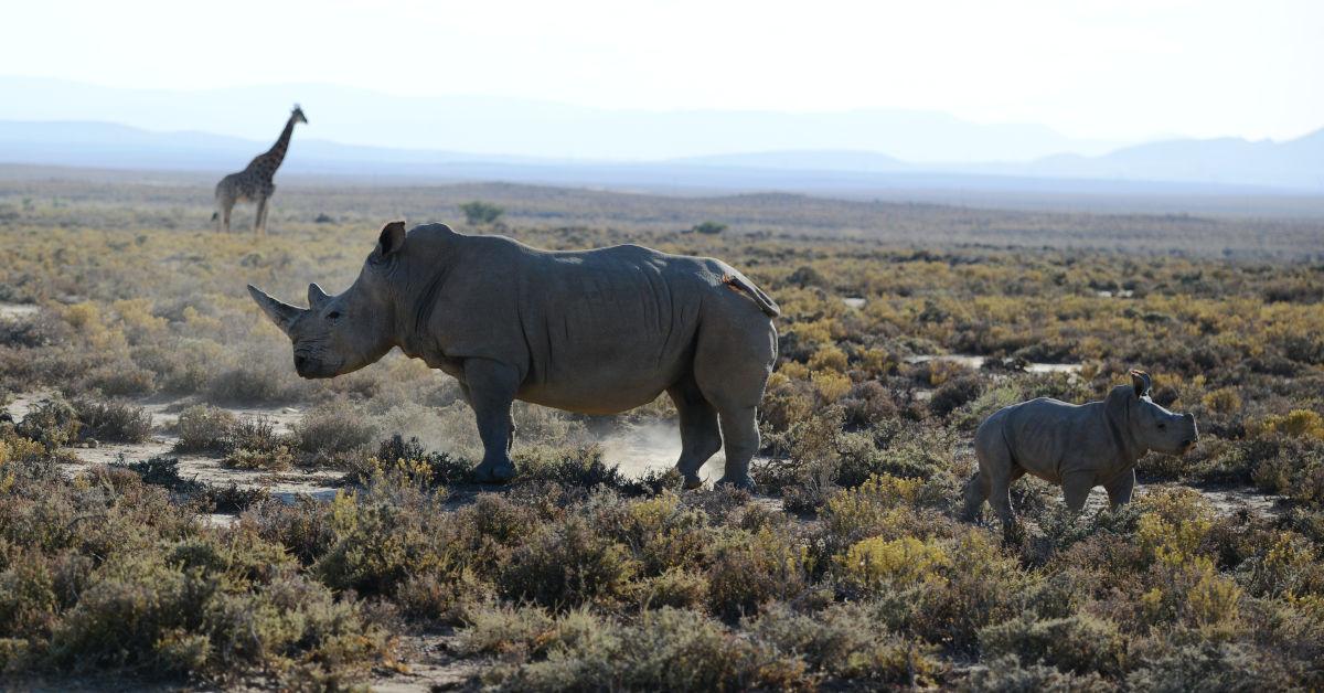 Two rhino and a giraffe on scrubland