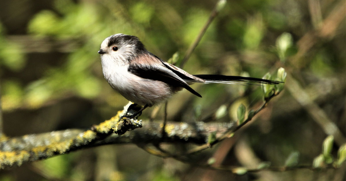 Long-tailed tit by David Reed from Pixabay