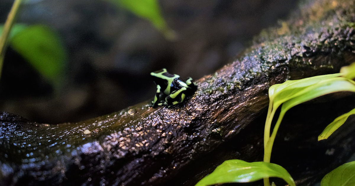 Rainforest and dart frog by Naveen Manohar on Pixabay