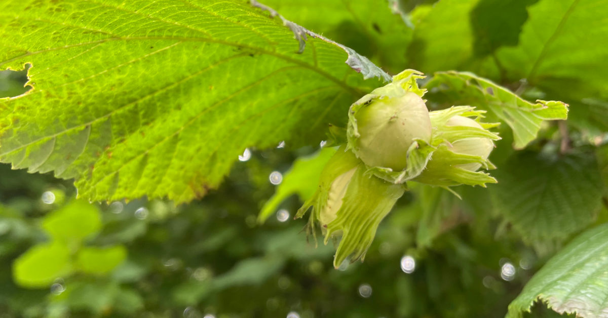 A cluster of hazelnuts - Image by Karen Cannard