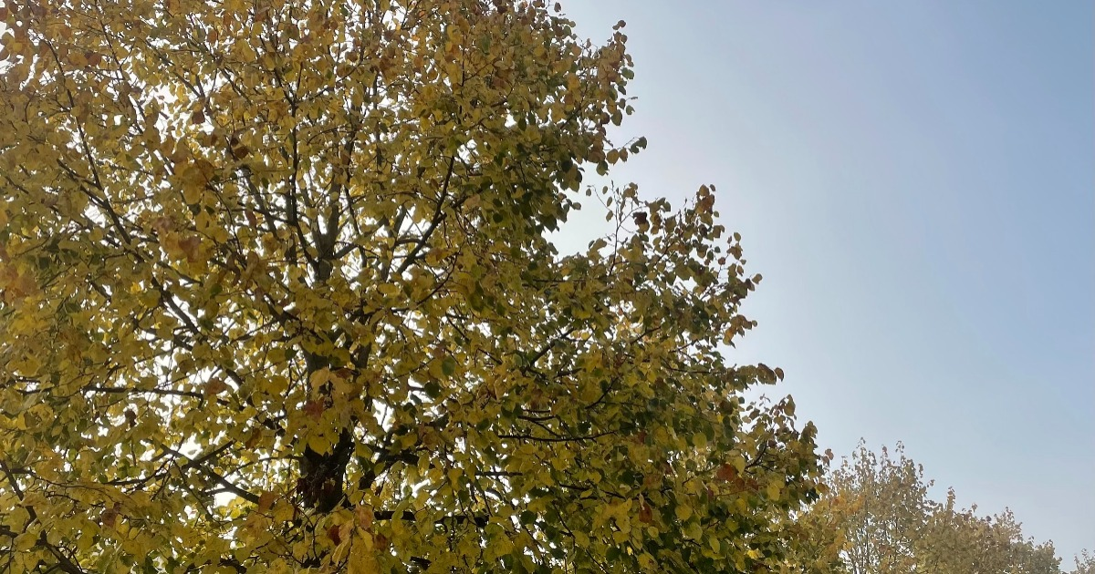 Lime trees by Karen Cannard