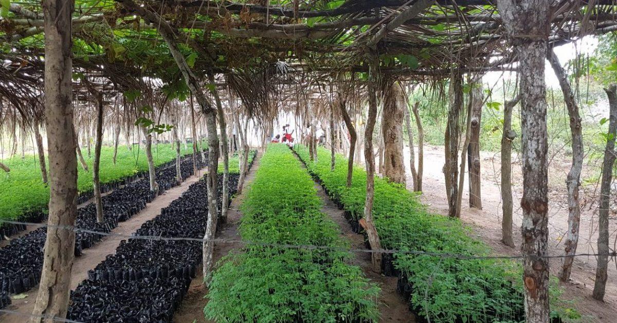 110,000 new saplings at the Boré main nursery