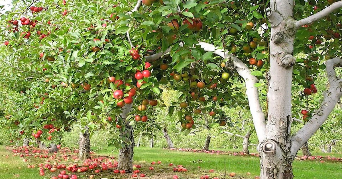 A British Apple Orchard