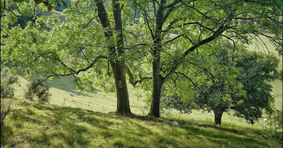 Ash trees on a hillside