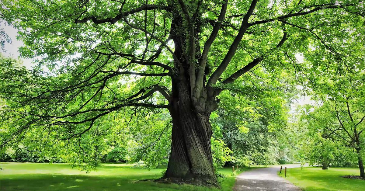 Great British Trees - The Chestnut
