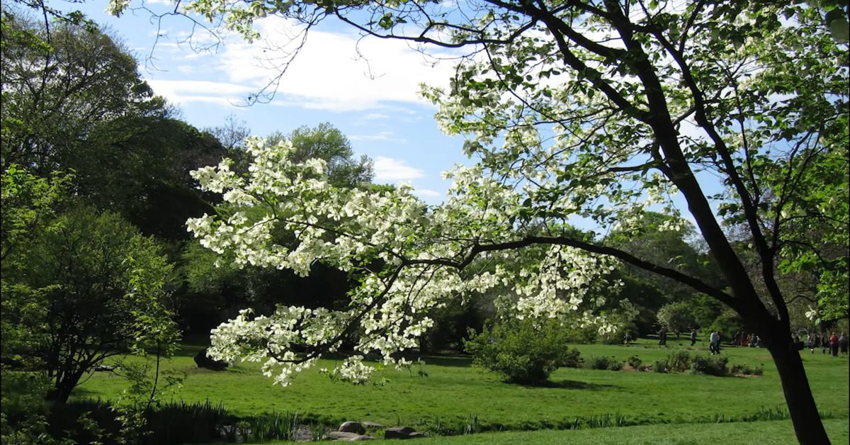 Great British Trees - The Dogwood