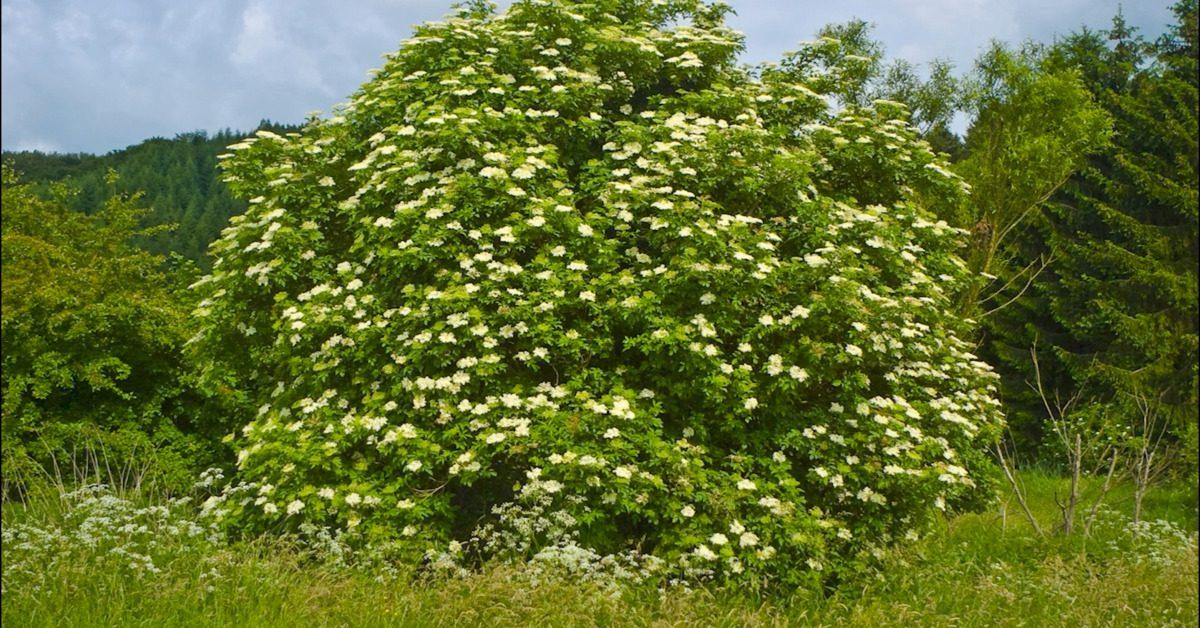 Great British Trees - The Elder