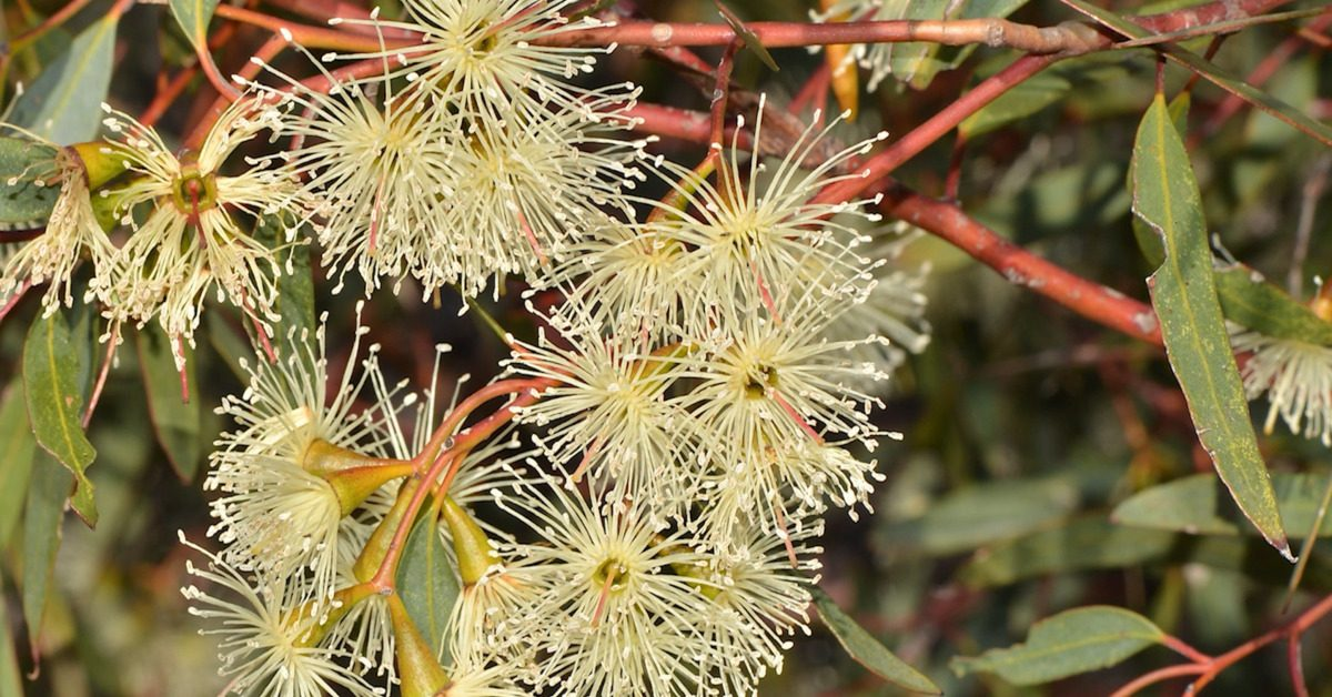 Great British Trees - The Eucalyptus
