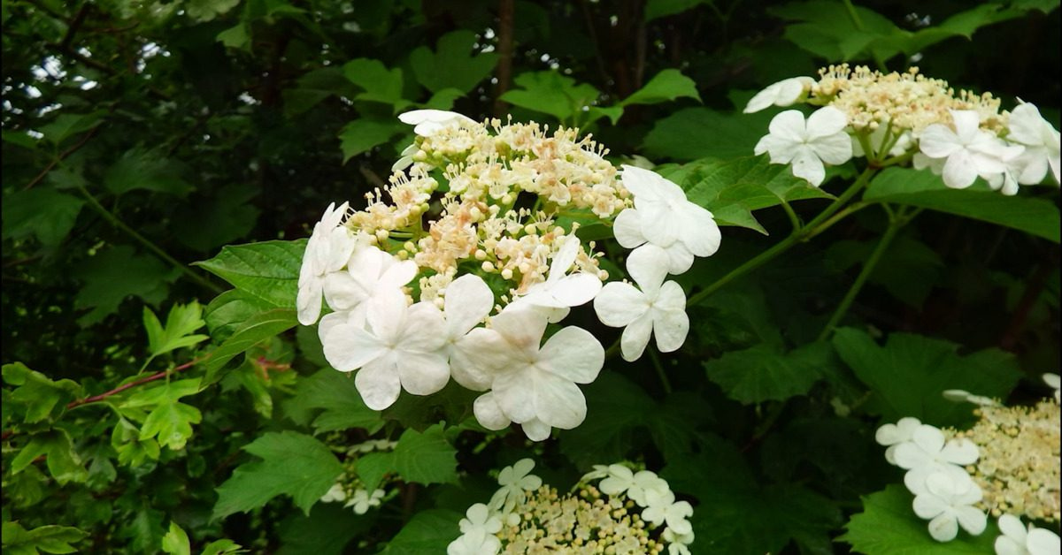 Great British Trees - The Guelder Rose