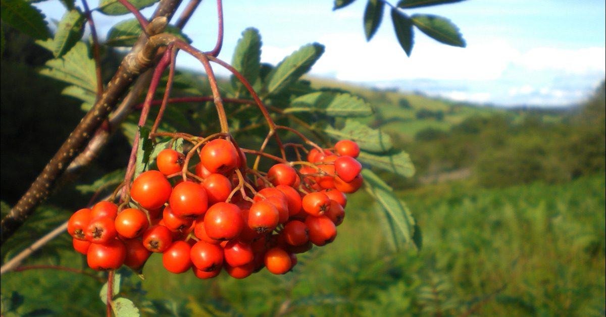 Great British Trees - The Rowan