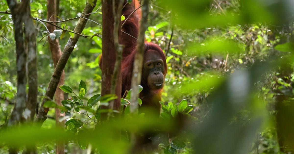 Orang utan in the jungle by Jorge Franganillo on Unsplash