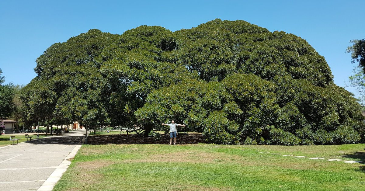 Simon West standing by an enormous tree in an Italian garden