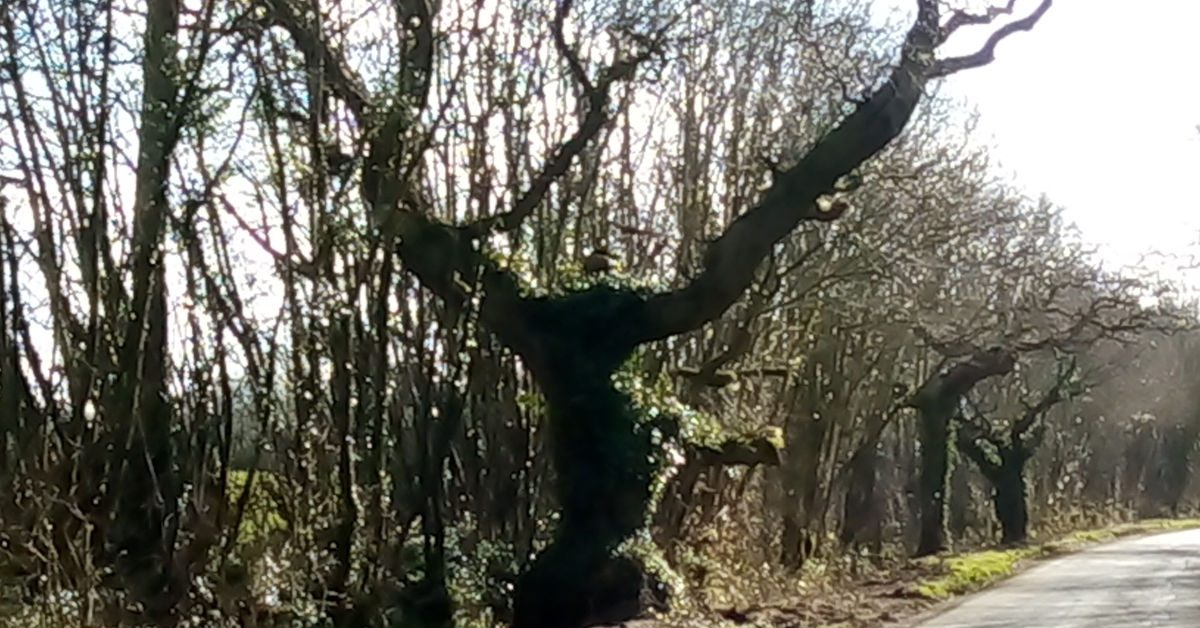 The Dancing Man Oak Tree - Image by Izzy Robertson